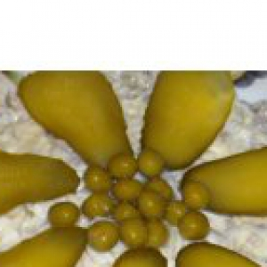 Желудки - Салатик из куриных желудочков